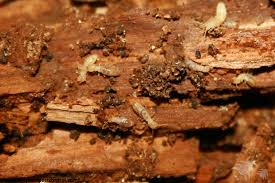 Fascination About Termite Control Cost