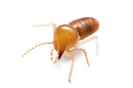 Get This Report about Termite Control Yourself
