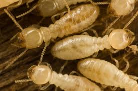 Fascination About Termite Control Using Salt
