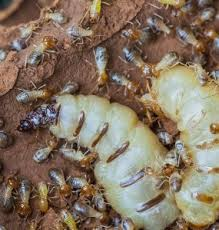 Unknown Facts About Termite Control Companies Near Me