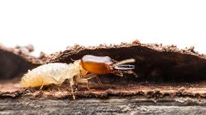 Fascination About What Termite Control