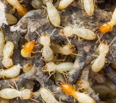 Termite Control Organic Way Things To Know Before You Buy