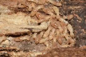 About Termite Control And Prevention