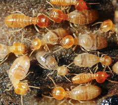 The smart Trick of Termite Control Natural Remedies That Nobody is Talking About