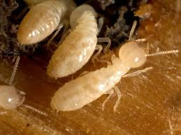 See This Report on Termite Control And Prevention