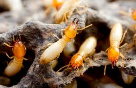 Some Known Questions About Termite Control Tech.